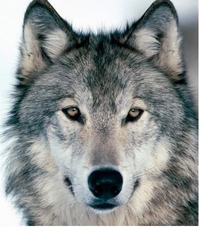 狼的50条格言,你会受用一生